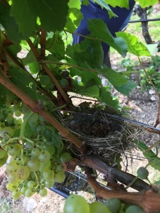 Birds nest in the Silvaner