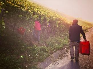 Harvest 2016 - Randersacker, Franconia - Germany