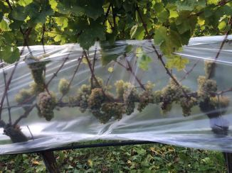 Riesling grapes for Ice Wine, September 2016