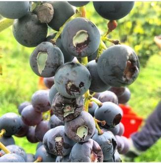 Penicillin infected Regent Grapes
