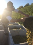 Riesling from a harvest machine