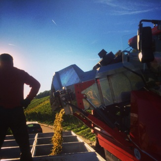Machine harvested Riesling grapes