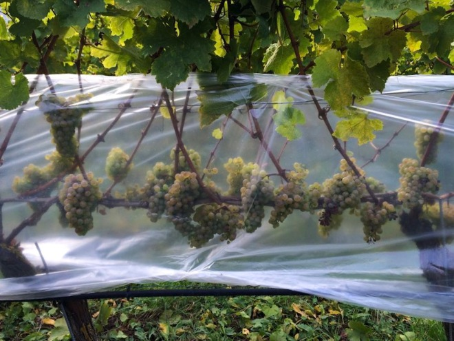 Riesling for Eiswein
